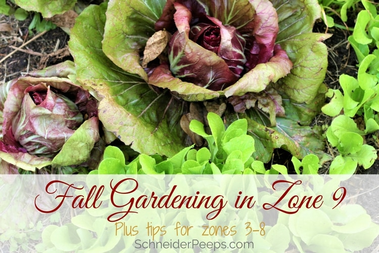 Fall gardening in zone 9 will mean that, for the most part, you start later than other zones. Here are some tips to help you have a productive fall garden.