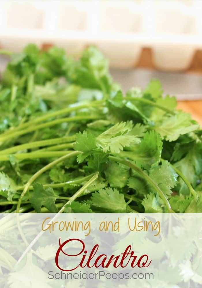 Cilantro is a two in one herb, the leaves are cilantro and the seeds are coriander. Growing cilantro is easy and the plant has medicinal and culinary uses.