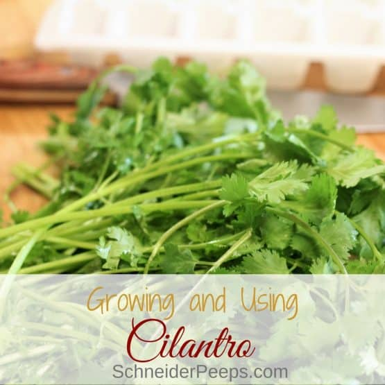 Growing and Using Cilantro and Coriander Seed
