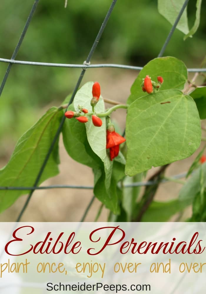 There are many edible perennials for the food garden. Learn how to grow perennial vegetables, fruits, and herbs. Plant once and harvest year after year.
