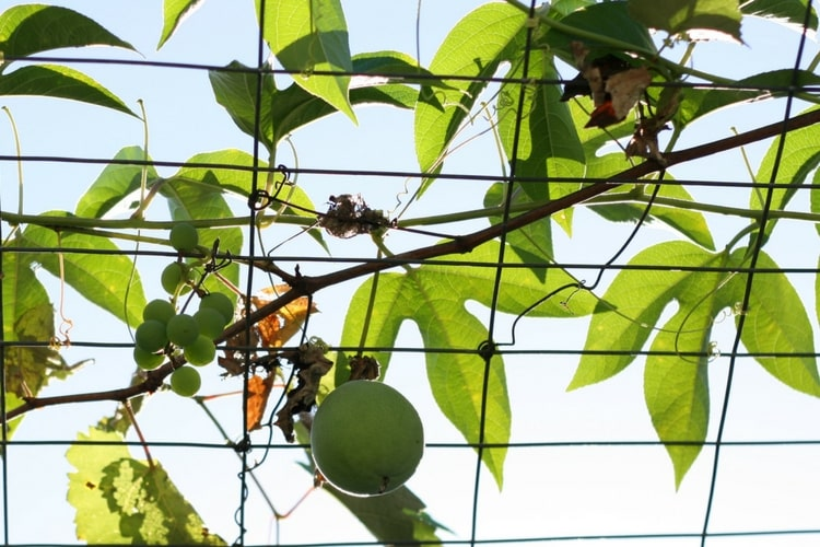 passionfruit hanging from vine