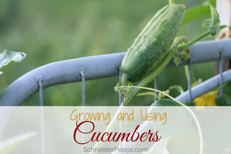 small cucumber growing on trellis