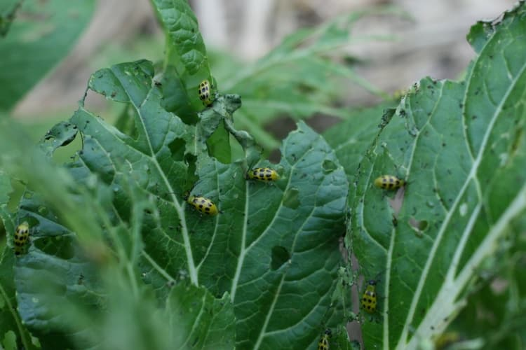 spotted cucumber beetles on chinese cabbage