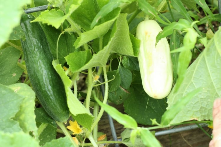 green and white cucumbers growing side by side