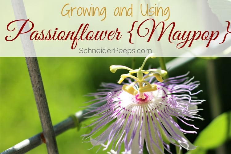 passionflower growing on vine