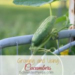 There are so many reasons to for growing cucumbers; they're relatively easy to grow, they're easy to preserve (and I'm not just talking about pickles), and they taste great. Get started growing and using cucumbers today with these tips.