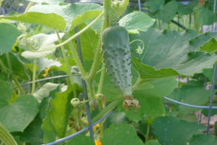 small pickling cucumber growing
