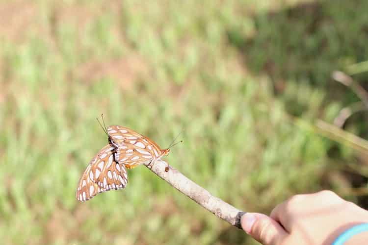 gulf fritillary butterflies on a stick
