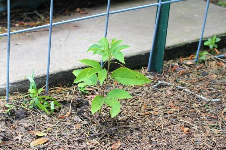 passionflower vine seedling
