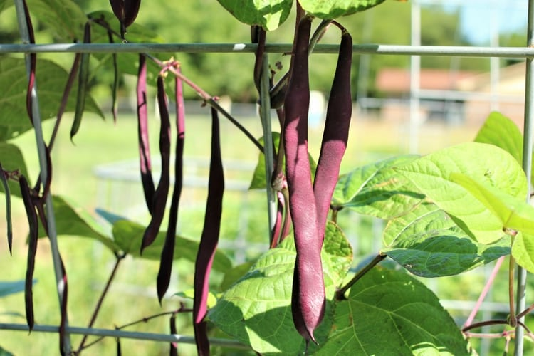 image of purple podded beans