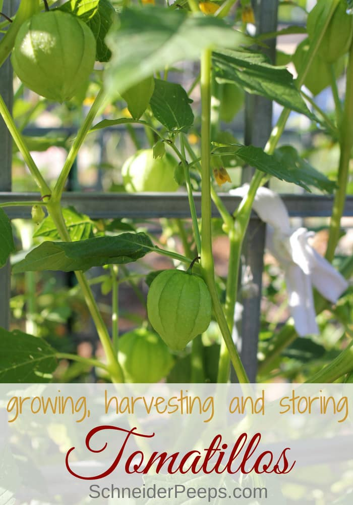 image of growing tomatillos in a cage