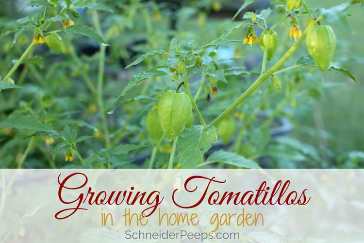 image of growing tomatillo plants