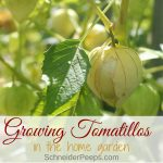 Growing Tomatillos {for more than tomatillo salsa verde}