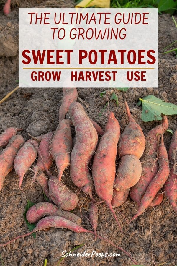 image of just harvested sweet potatoes on the bare ground.
