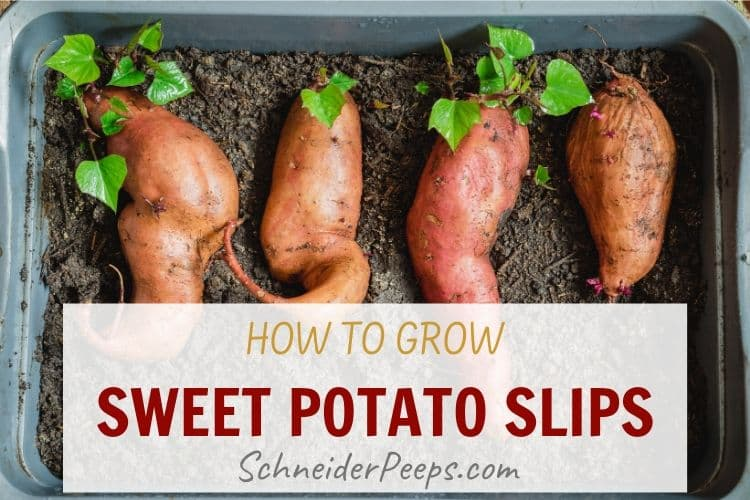 sprouting sweet potatoes in a small green tub with soil