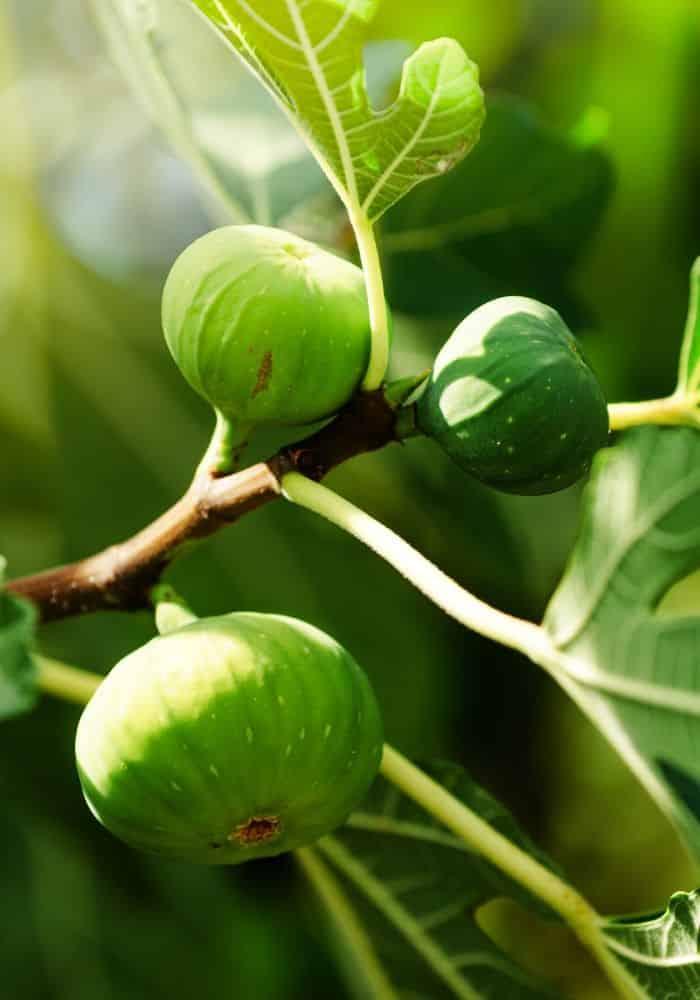 image of green unripe figs on tree