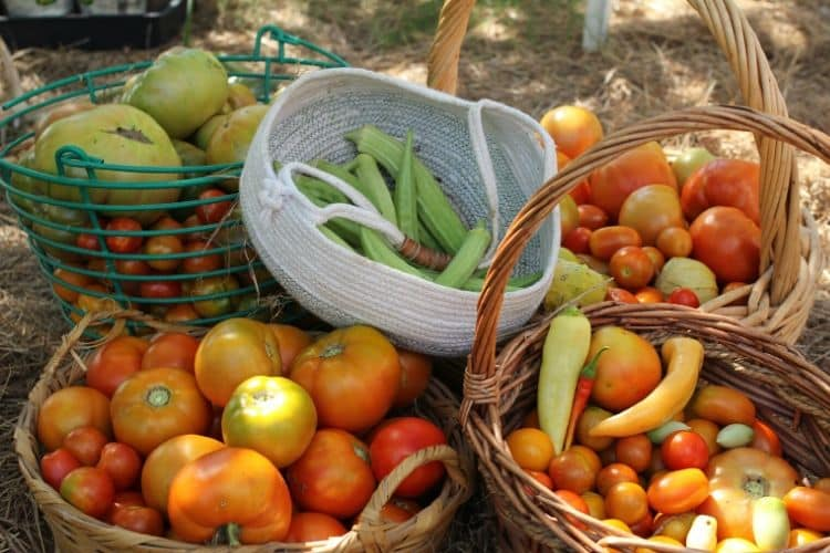 baskets of home grown tomatoes, peppers, and okra in garden
