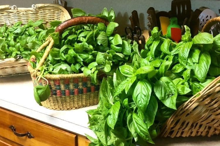 three baskets in kitchen overflowing with basil