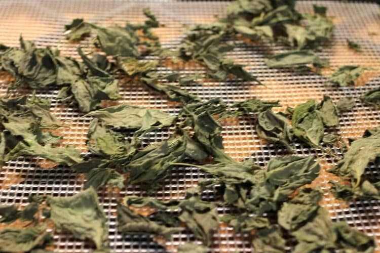 dried basil on dehydrator trat