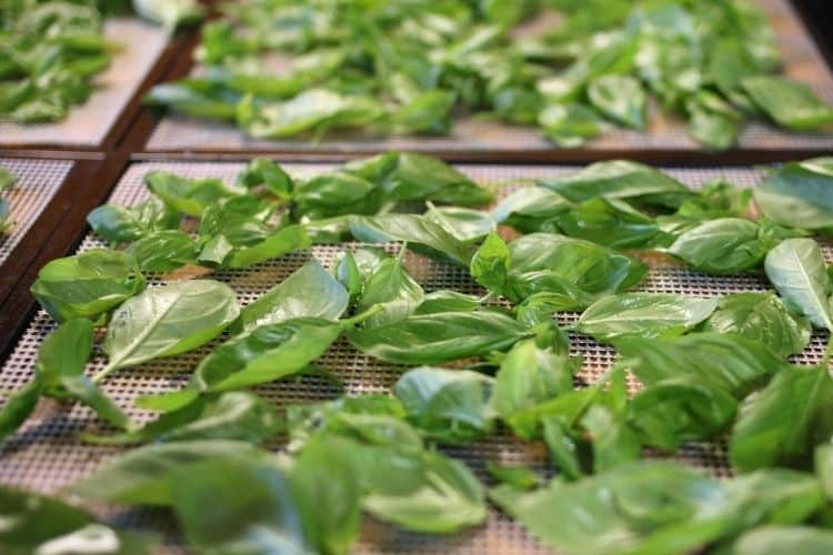 basil leaves drying on square dehydrator trays