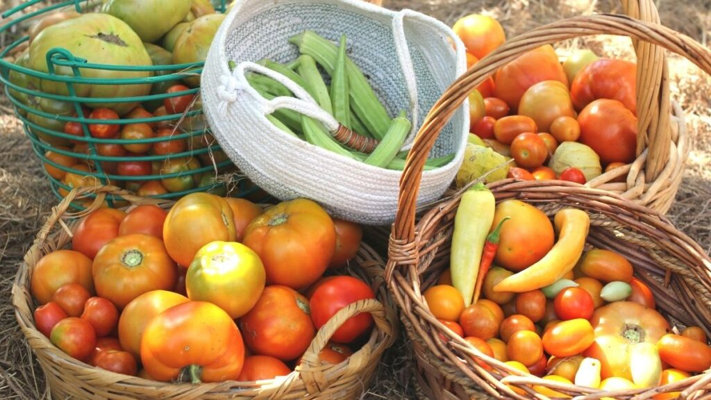 baskets of tomatoes, peppers, and okra in the garden